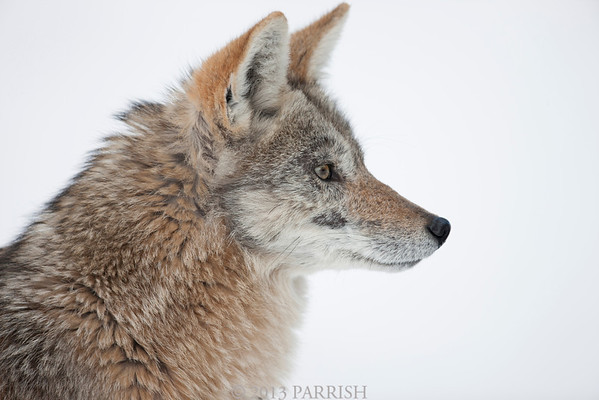 Yellowstone - A Coyote Named Alice