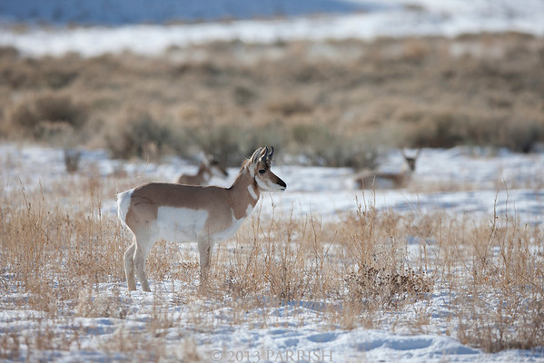 Yellowstone - Antelope